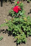 Rosa buske med den ljusa r?da blomman royaltyfri foto