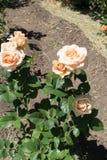 Rosa buske med kräm- rosa blommor royaltyfria bilder