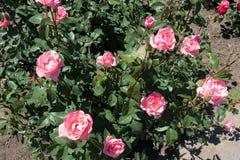 Rosa buske med massor av rosa blommor Royaltyfri Bild
