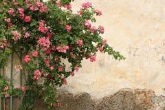 Rosa buske mot bakgrunden av forntida väggar arkivbilder