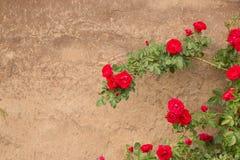 Rosa buske mot bakgrunden av forntida väggar fotografering för bildbyråer