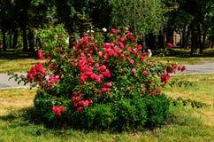 Rosa buske på blomsterrabatt i parkera arkivfoto