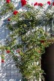 Rosa buske på staketet i solen arkivbilder