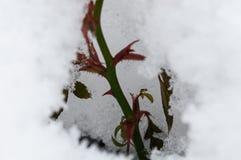 Rosa buske som täckas med snö fotografering för bildbyråer