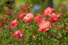 Rosa buske, Spanien royaltyfria bilder