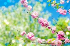 rosa buskeblomningar i vår med rosa blommor naturlig wallpaper Begrepp av våren Bakgrund för design Royaltyfria Bilder