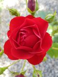 Rosa buskeslut Arkivfoto