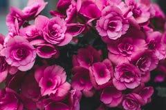 Rosa cambiante Foto de archivo libre de regalías