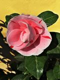 Rosa cameliablomma Fotografering för Bildbyråer