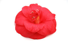 Rosa Camellia Royaltyfria Bilder