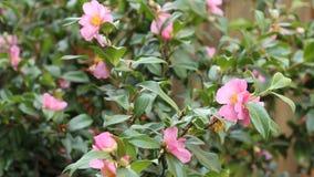 Rosa Camellia Bush stock video