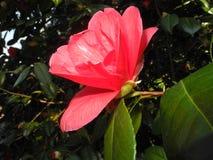 Rosa Camellia arkivbilder