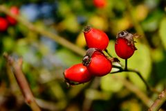 Rosa Canina. (dog rose) in an autumn Stock Images