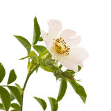 Rosa canina Stock Images