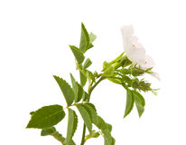 Rosa canina Stock Photos