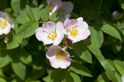 Rosa canina. Picture of flowers - Nikon D90 Camera Stock Image