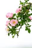 Rosa canina Immagine Stock Libera da Diritti