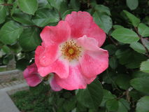 Rosa canina stockbilder