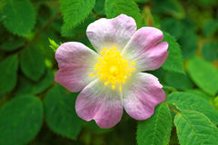 Rosa canina bloom in green leaves. A woodland wildflower, the Rosa canina, with its pale pink petals and bright yellow center. Nature in Germany in early summer Stock Photography