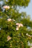 Rosa Canina cor-de-rosa selvagem arbusto Foto de Stock