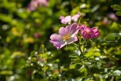 Rosa canina di fioritura Immagini Stock Libere da Diritti