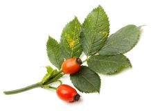 Rosa canina - Dog Rose. The plant is high in certain antioxidants. The fruit is noted for its high vitamin C level and is used to make syrup, tea and marmalade Royalty Free Stock Photo