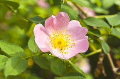 Rosa canina (Dog Rose) Royalty Free Stock Images