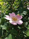 Rosa Canina Dog Rose Image stock