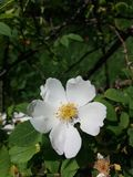 Rosa Canina Dog Rose Imagenes de archivo