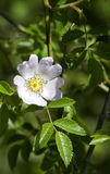 Rosa canina (Dog Rose) Royalty Free Stock Photos