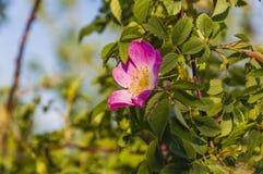 Rosa canina (Dog rose) - flower Stock Photography