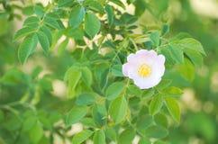 Rosa Canina Dog Rose Flower Stock Images