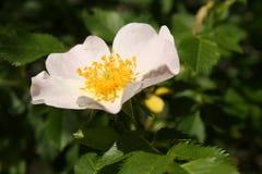 Rosa canina flower Stock Image
