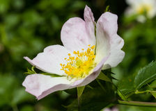 Rosa Canina flower. Close-up of a Rosa Canina (dog-rose) flower Royalty Free Stock Photos