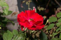 Rosa Canina Flower roja con la abeja Imagenes de archivo
