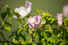Rosa Canina Flowers. In the Sunset Stock Photography
