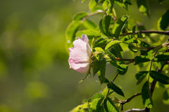 Rosa Canina Flowers. In the Sunset Royalty Free Stock Photography