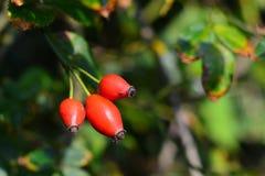 Rosa-canina Frucht Stockfotos