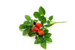 Rosa canina  fruits Stock Photos
