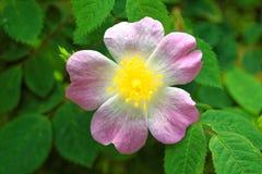 Rosa canina kwiat Fotografia Stock