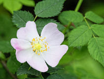 Rosa canina. In a meadow near la spezia Stock Images