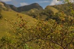 Rosa canina nella riserva naturale nazionale di Dombai immagine stock