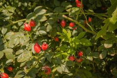 Rosa canina. Photo of shrubs of rosehip in the wild on a sunny autumn Royalty Free Stock Image