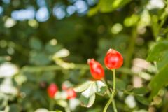 Rosa canina. Photo of shrubs of rosehip in the wild on a sunny autumn Royalty Free Stock Photo