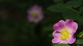 Rosa canina pies wzrastał, wrzosów kwiatów zbliżenie zdjęcie wideo