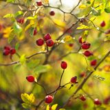 Rosa canina. Red fruits of wild rose Stock Images