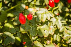 Rosa canina. Photo of shrubs of rosehip in the wild on a sunny autumn Stock Image