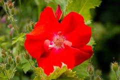 Rosa canina rossa (canina di rosa) Fotografie Stock