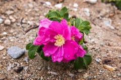 Rosa canina selvatica sulla costa dell'oceano Pacifico Immagine Stock Libera da Diritti