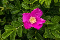 Rosa canina selvatica sulla costa dell'oceano Pacifico Immagine Stock